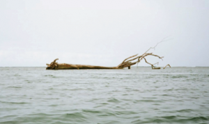 Photo of dead tree floating in an expanse of water