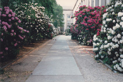 Rhododendrons in Killian Court
