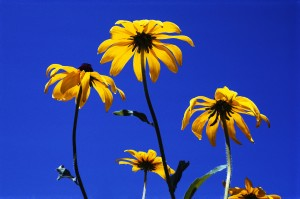 Black-eyed Susans with Blue Sky